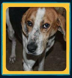 lizardmarsh: Carthage IL: Poor hound dumped at animal control!