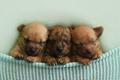 Teeny shelter puppies get an adorable newborn photoshoot 11 sixteeen photography Foster Puppies, Tiny Puppies, Cute Puppies, Corgi Puppies, Shelter Puppies, Puppy Pose, Newborn Puppies, Newborn Babies, Fur Babies