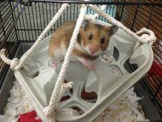 Managing Bar Chewers - rats and hamsters, I guess Meredith Grey isn't alone. Diy Rat Toys, Diy Hamster Toys, Cage Hamster, Gerbil Cages, Hamster Life, Hamster Habitat, Hamster House, Diy Rodent Toys, Hamster Stuff