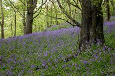 Bluebell woods on Timber Hill at the top of the Spittles in Lyme Regis Dorset Monmouth Beach, Dorset Coast, South West Coast Path, Fossil Hunting, Lyme Regis, Gravel Path, Wooden Staircases, Heritage Center, Walk Past