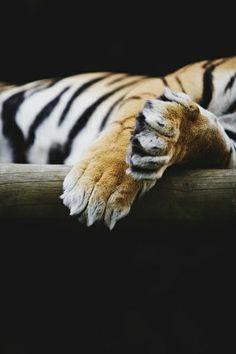 Tiger Paws by ©stumayhew. °