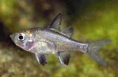 Olive Perchlet (Ambassis agassizii) 4cm  http://marinefishdirect.com.au/freshwater-fish/australian-native-fish/olive-perchlet-ambassis-agassizii-6cm.html