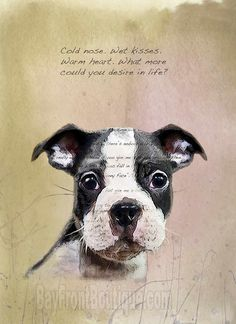 Cold nose. Wet kisses. Warm heart. What more could you desire in life? Boston Terrier art