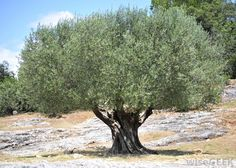 OLIVE TREE {{ The olive is one of the plants most often cited in western literature }}