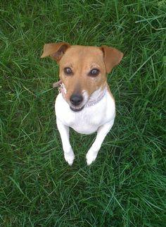 Jack Russell Terrier :)