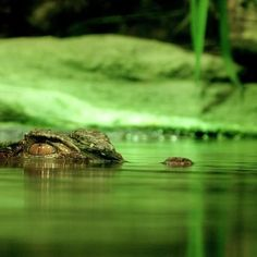 Differences between Alligators and Crocodiles #reptiles