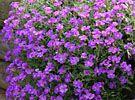 Blaukissen - Sonnig - trocken - blüht im Frühjahr