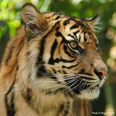 Protect a Sumatran Tiger for Earth Day $3.41 protects one acre of Rainforest! at The Rainforest Site