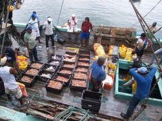 A unos días de la veda; repunta la pesca del camarón en litoral oaxaqueño