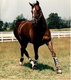 Big Ben, a true Canadian treasure, was born on April 20th, 1976 and lived for 23 years.  Ben was a chestnut Belgian Warmblook gelding who stood 17.3 hands.  Big Ben and his rider Ian Miller won over 40 Grand Prix.  He was really something to behold.  Passed away on Dec., 11/99 and is buried at the Millar Brook Farm.