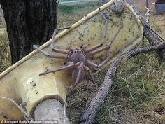 .Huntsman on broom in Queensland. NO harm to humans though. Never grow this large. Just scary!