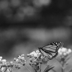 Monarch in black and white, but not just normal black and white; *pretty* Acros SOOC black and white. Seems silly to do that until I tell you that the background was a distracting mix of bright colors I did not see, since I was shooting Acros with EVF. 😊 . . . . #amaryllislachapelle #photography #closeup #macro #macrophoto #macrophotography #insect #insectphotography #butterfly #monarch #animal #animalphotography #outdoors #natural #nature #naturephotography #naturallight #black #white…
