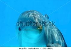 Sold at Shutterstock! Ocean Life - Curious dolphin watching the camera. by eZeePics Studio, via ShutterStock
