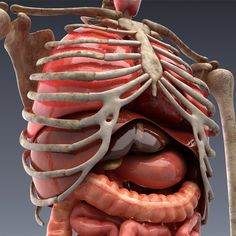 Anatomically accurate, realistic model of human internal organs and skeleton. All organs are animated and loopable. Human Anatomy 3d, Human Anatomy And Physiology, Anatomy Art, Intestines Anatomy, Inside Human Body, Body Muscle Anatomy, Human Body Organs, Medical Anatomy, Medical Art