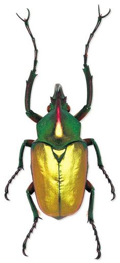 Say it with me: Theodosia perakensis. screw that. It's a scarab beetle.: Say it with me: Theodosia perakensis. screw that. It's a scarab beetle. Beetle Insect, Insect Art, Cool Insects, Bugs And Insects, Mantis Religiosa, Cool Bugs, Fotografia Macro, Beautiful Bugs, Amphibians