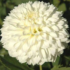 """'Gitts Attention' 5"""" flowers on 4' bush, long-lasting cut flower"""