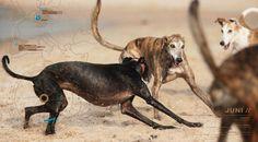 Greyhounds having fun