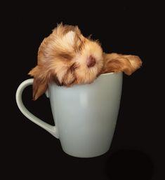 Havanese/Shitzu Puppy in Giant Mug Shitzu Puppies, Shih Tzu Puppy, Havanese, Mugs, Baby Shih Tzu, Tumblers, Mug, Cups