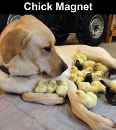 Chick Magnet cute animals dogs adorable dog puppy animal pets humor chicks funny animals funny pets funny dogs funny sayinsg