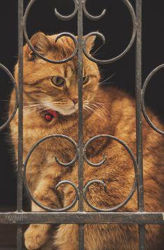.beautiful orange tabby cat