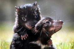 Old Tasmanian Devil | Galleries: Baby Tasmanian Devils