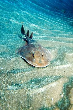 Giant Electric Ray.