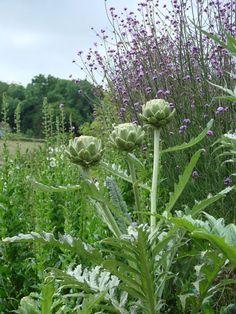 Edible Landscaping: artichokes in Kitchen Garden | jardin potager | bauerngarten | köksträdgård