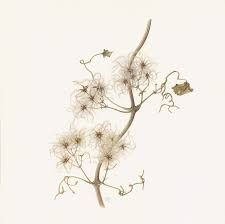 Beautiful Botanical Illustration, by Botanical artist Sally Pond, available to buy as a high quality limited edition print. Botanical Flowers, Botanical Prints, Old Men, Limited Edition Prints, Botanical Illustration, Flower Art, Ink, Artist, Nature