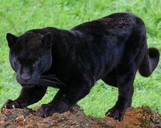 [Editando] Pantera, do Latim, Pardus. Black Panthers, Most Beautiful Animals, Majestic Animals, Panther Leopard, Amor Animal, Leopards, Funny Animal Videos, Big Cats, Pet Birds