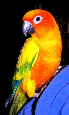 My latest obsession...Sun Conure ❤