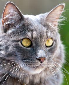 Gus Cat | Pawshake