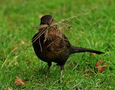 Blackbird collecting nesting material