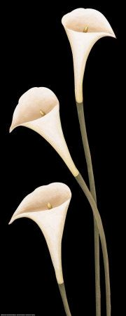 Calla lilies , Art and Prints at Art.com