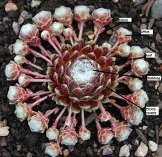 Learn all about sempervivum here at Sempervivum 101.  Great information!