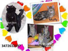 Cuccioli di gatto bellissimi in regalo