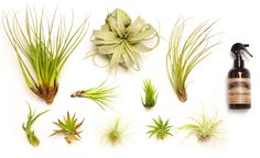 Hinterland Trading Air Plant Collector's Edition Set - See more at: http://grocery.florenttb.com/grocery-gourmet-food/fresh-flowers-live-indoor-plants/live-indoor-plants/hinterland-trading-air-plant-collector39s-edition-set-com/#sthash.Tf4zPnOY.dpuf