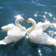 Beautiful feathered friends ~ Swans