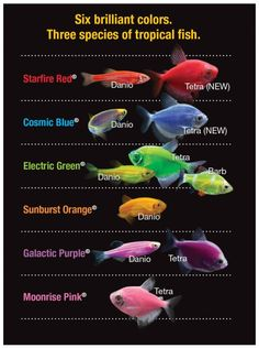 Glofish were originally bred to help detect polluted waters.