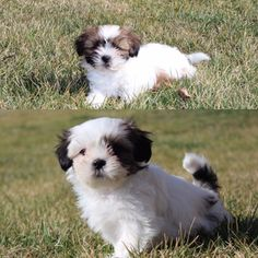 Shih Tzu puppy for sale in YORK, PA. ADN25032 on
