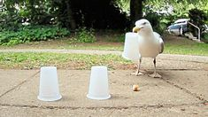 Smart Seagull Wins Every Round Of The Shell Game For Tasty TreatsEveryone knows…