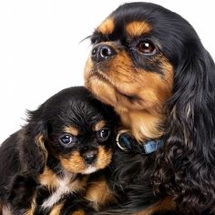 The traits we admire about the Smart Cavalier King Charles Spaniel Puppies King Charles Dog, King Charles Spaniel, Cute Puppies, Cute Dogs, Dogs And Puppies, Doggies, Baby Dogs, Puppies Puppies, Beautiful Dogs