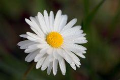 #macro #closeup #flower #spring Oh Daisy °°° by David Parenteau on 500px