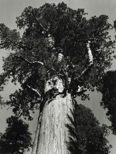 General Sherman tree - Sequoia National Park California photo by Ansel Adams, 1938 Sequoia National Park California, Sequoia National Park Camping, Edward Weston, Henri Cartier Bresson, Ellen Von Unwerth, Ansel Adams Photography, Nature Photography, Richard Avedon, Sierra Nevada