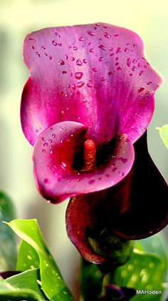 A lovely hot pink Calla Lily