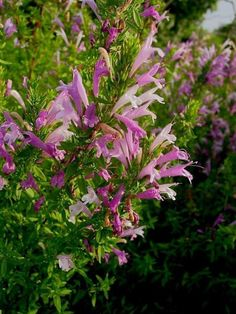 179 best flowers of texas images on pinterest in 2018 behind the mexican oregano edible leaves drought tolerant adapted to texas mightylinksfo