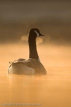 Canada Goose (Branta canadensis) at sunrise