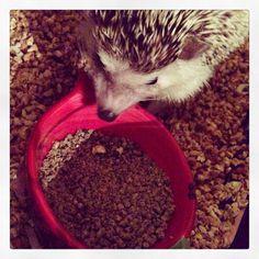#hendrixthehedgehog #hedgehog Hedgehog, Bird, Birds, Hedgehogs, Birdwatching, Pygmy Hedgehog