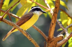 "the Great Kiskadee ""Pitangus sulphuratus"""