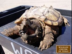 Rare alligator snapping turtle rescued by Wildlife Center of Texas