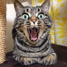 big yawn & catloaf